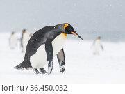 King penguin (Aptenodytes patagonicus) lifts itself upright after tobogganing. Salisbury plain, South Georgia Island. Стоковое фото, фотограф Ben Cranke / Nature Picture Library / Фотобанк Лори