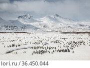 King penguins (Aptenodytes patagonicus) gather in large numbers at the breeding colony, Fortuna Bay, South Georgia Island. Стоковое фото, фотограф Ben Cranke / Nature Picture Library / Фотобанк Лори