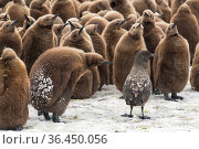 King penguin (Aptenodytes patagonicus) chicks gather to defend themselves against a nearby Brown skua (Stercorarius antarcticus). Fortuna Bay, South Georgia Island. Стоковое фото, фотограф Ben Cranke / Nature Picture Library / Фотобанк Лори