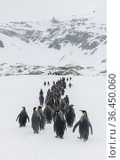 King penguins (Aptenodytes patagonicus) gather and walk in a column towards the breeding colony. Fortuna Bay, South Georgia Island. Стоковое фото, фотограф Ben Cranke / Nature Picture Library / Фотобанк Лори