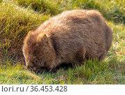 The wombat is the largest burrowing mammal - Cradle Mountain, Tasmania... Стоковое фото, фотограф Zoonar.com/Laszlo Konya / easy Fotostock / Фотобанк Лори