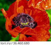 Red flower of  blooming poppy in dew drops close-up. Стоковое фото, фотограф Олег Елагин / Фотобанк Лори