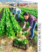 Latino female worker sorting and cleans mangold on plantation. Стоковое фото, фотограф Яков Филимонов / Фотобанк Лори