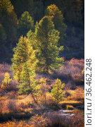 Altai river Kurkurek in Autumn. Trees are in fall yellow colors backlighting bu Sun. Стоковое фото, фотограф Serg Zastavkin / Фотобанк Лори
