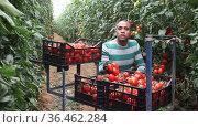 Hispanic grower engaged in cultivation of organic vegetables, hand harvesting crop of ripe red tomatoes in greenhouse. Стоковое видео, видеограф Яков Филимонов / Фотобанк Лори