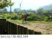 The cow goes to the pasture. Стоковое фото, фотограф Марина Володько / Фотобанк Лори