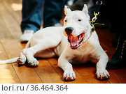 White puppy dog of Dogo Argentino also known as the Argentine Mastiff... Стоковое фото, фотограф Ryhor Bruyeu / easy Fotostock / Фотобанк Лори
