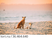 Two Homeless Red Mixed Breed Dogs Resting Outdoor In Sandy Beach Near... Стоковое фото, фотограф Ryhor Bruyeu / easy Fotostock / Фотобанк Лори
