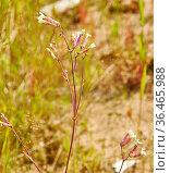 Silene vulgaris, bladder campion, plant species of the genus Silene... Стоковое фото, фотограф Zoonar.com/alexander mychko / easy Fotostock / Фотобанк Лори