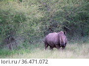 Nashorn in Südafrika. Стоковое фото, фотограф Zoonar.com/Michael Fox / easy Fotostock / Фотобанк Лори
