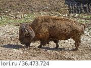 Bisons, in Europa auch als Wisent bekannt gehören zu der Gattung Wildrinder... Стоковое фото, фотограф Zoonar.com/Eder Christa / easy Fotostock / Фотобанк Лори
