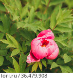 Paeonia suffruticosa pink flower. Стоковое фото, фотограф Zoonar.com/OLGAMURiNA / easy Fotostock / Фотобанк Лори