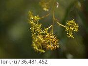 Flora of Gran Canaria - Bupleurum salicifolium natural macro floral background. Стоковое фото, фотограф Tamara Kulikova / Фотобанк Лори