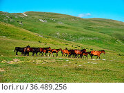 A herd of semi-wild horses in the Caucasus. In exterior of horses... Стоковое фото, фотограф Zoonar.com/Maximilian Buzun / easy Fotostock / Фотобанк Лори