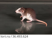 Small rat on a glass table. Стоковое фото, фотограф Argument / Фотобанк Лори
