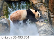 Giant panda (Ailuropoda melanoleuca) male in enclosure in mist, Captive at Beauval Zoo, Saint Aignan sur Cher, France. The mist is created artificially... Стоковое фото, фотограф Eric Baccega / Nature Picture Library / Фотобанк Лори
