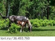 Wild horses mare and foal, Lake Teletskoye. Altai Nature Reserve, Altai Republic, Russia. Стоковое фото, фотограф Olga Kamenskaya / Nature Picture Library / Фотобанк Лори