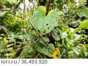 Stick insects (Phobaeticus serratipes) Morne Diablotin National Park, Dominica, Caribbean Sea, Atlantic Ocean. Стоковое фото, фотограф Franco Banfi / Nature Picture Library / Фотобанк Лори