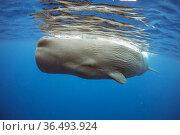 Sperm whale (Physeter macrocephalus) Dominica, Caribbean Sea, Atlantic Ocean. Стоковое фото, фотограф Franco Banfi / Nature Picture Library / Фотобанк Лори