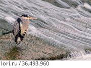 Grey heron (Ardea cinerea) hunting near a little weir, Bude, Cornwall, UK. January . Стоковое фото, фотограф Ross Hoddinott / Nature Picture Library / Фотобанк Лори