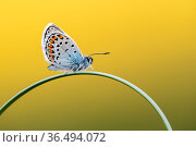 Silver-studded blue butterfly (Plebejus argus) resting on grass, Upton Towans, Cornwall, UK. June . Стоковое фото, фотограф Ross Hoddinott / Nature Picture Library / Фотобанк Лори
