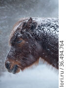 Pony in the snow in winter, Milborne Port, Somerset, England, UK. March 2018. Стоковое фото, фотограф David Noton / Nature Picture Library / Фотобанк Лори