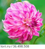 Flower of pink dahlia. Стоковое фото, фотограф Zoonar.com/OLGAMURiNA / easy Fotostock / Фотобанк Лори