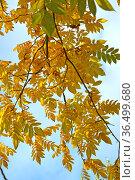 Ветка ореха серого (Juglans cinerea L.) с желтыми листьями на фоне голубого неба. Стоковое фото, фотограф Ирина Борсученко / Фотобанк Лори