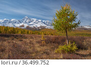 Autumn highland landscape. Larch tree is foreground and snow mountains are on background. Стоковое фото, фотограф Serg Zastavkin / Фотобанк Лори