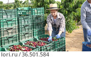 Focused girl farmer working in a fruit nursery stands near crates of freshly harvested cherries and removes leaves from the fruits. Стоковое видео, видеограф Яков Филимонов / Фотобанк Лори