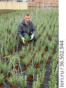 Florist arranging pots with blooming lavender. Стоковое фото, фотограф Яков Филимонов / Фотобанк Лори
