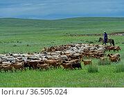 Herde Kaschmirziegen in der mongolischen Steppe, Bulgan Aimag, Mongolei... Стоковое фото, фотограф Zoonar.com/Pant / age Fotostock / Фотобанк Лори