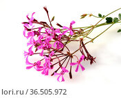 Kapland-Pelargonie, Umckaloabo, Pelargonium, reniforme. Стоковое фото, фотограф Zoonar.com/Manfred Ruckszio / easy Fotostock / Фотобанк Лори