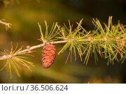 Lärchenzapfen, lärche, zapfen, baum, herbst, ast, zweig, natur, samen... Стоковое фото, фотограф Zoonar.com/Volker Rauch / easy Fotostock / Фотобанк Лори