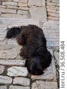 Hund, tier, haustier, schwarz, liegend, schlafend, schlaf, ruhe, straßenpflaster... Стоковое фото, фотограф Zoonar.com/Volker Rauch / easy Fotostock / Фотобанк Лори