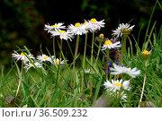 Gänseblümchen, blume, blumen, wiese, blumenwiese, blüte, blüten, natur... Стоковое фото, фотограф Zoonar.com/Volker Rauch / easy Fotostock / Фотобанк Лори