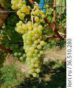 Harslevelue, Vitis, vinifera, Traube. Стоковое фото, фотограф Zoonar.com/Manfred Ruckszio / easy Fotostock / Фотобанк Лори