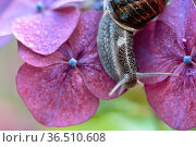 Large Garden Snail in Summer crawling on hortensia flowers with water... Стоковое фото, фотограф Zoonar.com/Nailia Schwarz / easy Fotostock / Фотобанк Лори