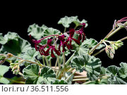 Kapland-Pelargonie, Umckaloabo, Pelargonium, sidoides, Heil-Pelargonie. Стоковое фото, фотограф Zoonar.com/Manfred Ruckszio / easy Fotostock / Фотобанк Лори