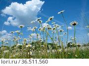 Margeritenwiese, Margeriten, wiese, landschaft, feld, natur, sommer... Стоковое фото, фотограф Zoonar.com/Volker Rauch / easy Fotostock / Фотобанк Лори