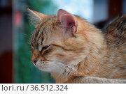 Sibirische waldkatze, katze, haustier, tier, geicht, kopf, jung, jungtier... Стоковое фото, фотограф Zoonar.com/Volker Rauch / easy Fotostock / Фотобанк Лори