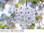 Kirsche, zierkirsche, kirschblüten, blüte, blüten, blume, blumen,... Стоковое фото, фотограф Zoonar.com/Volker Rauch / easy Fotostock / Фотобанк Лори