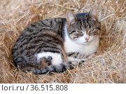 Katze, tier, haustier, stroh, heu, getigert, schwarz-weiß, bauernhof... Стоковое фото, фотограф Zoonar.com/Volker Rauch / easy Fotostock / Фотобанк Лори