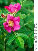 Pink Flower Of Rose. Rose Is A Woody Perennial Flowering Plant Of... Стоковое фото, фотограф Ryhor Bruyeu / easy Fotostock / Фотобанк Лори
