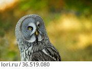 Eule in Burg und Festung Regenstein.Burrowing Owls (Athene cunicularia... Стоковое фото, фотограф Zoonar.com/Arvidas Saladauskas / age Fotostock / Фотобанк Лори