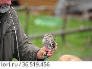 Die kleinste Eule der Brasilianischer Sperlingkauz in Burg und Festung... Стоковое фото, фотограф Zoonar.com/Arvidas Saladauskas / age Fotostock / Фотобанк Лори