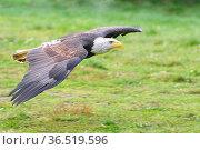 Bald eagle(Haliaeetus leucocephalus) flying free in forest,wings ... Стоковое фото, фотограф Zoonar.com/Arvidas Saladauskas / age Fotostock / Фотобанк Лори