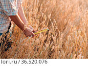 Farmer examine and measure with ruler wheat ears at agricultural field... Стоковое фото, фотограф Zoonar.com/Max / easy Fotostock / Фотобанк Лори