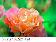 Garten, Blumen, Blumenbeet, Staudenbeet, Rosen, Rose, Sedana, Phlox... Стоковое фото, фотограф Zoonar.com/Zoonar/Elke Hötzel / easy Fotostock / Фотобанк Лори