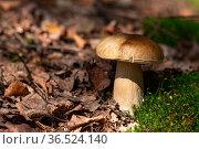 Edible porcini mushroom grows among moss and fallen leaves. Стоковое фото, фотограф Евгений Харитонов / Фотобанк Лори